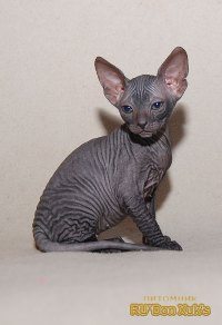 Характеристика сфинкса кот